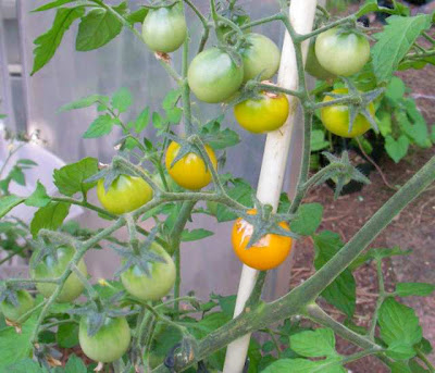 Yellow cherry tomato 'Gold Nugget'