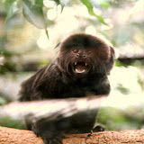 Geoldi's Monkey: They are highly sociable and use over 40 different calls to communicate.