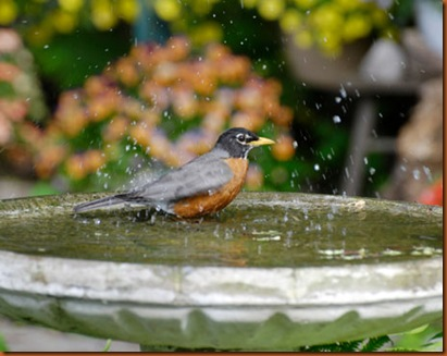 Birdbath Robin