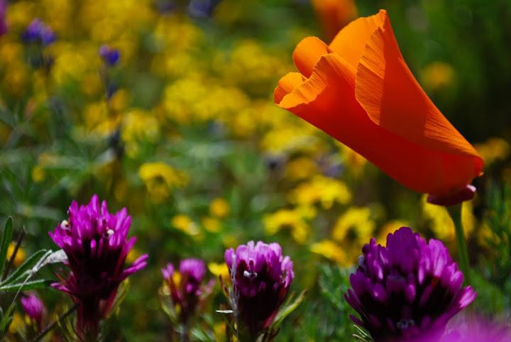 spring wildflowers in antelope - photo #36