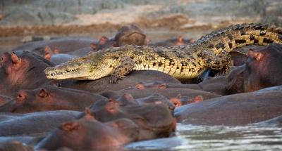 Cocodrilo sobre hipopótamos en Luangwa (Zambia)