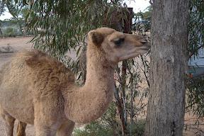 Camel.Kz7z0uoTcthg.jpg