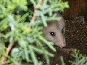 Virgina Opossum