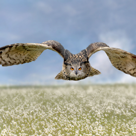 Field of Flowers by Michael Milfeit - Animals Birds ( uhu, bird of prey, wiese, bubo bubo, owl, eagle owl, anflug,  )