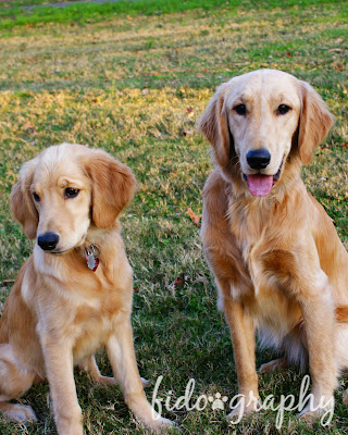 Victoria and Hope golden retrievers, sitting looking towards the camera..I say towards as Victoria is looking at my dachshund Texas who is out of the photo/></a><br></p><p>Being a Service Pup is HARD WORK!</p><p><br></p><p><a href=