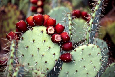Prickly Pear Fruit, So Ripe! by cobalt123 on Flickr [used under Creative Commons License]