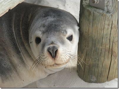 Australian Seal