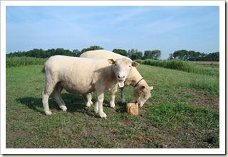 nieuwe schapen 005