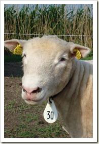 nieuwe schapen 011