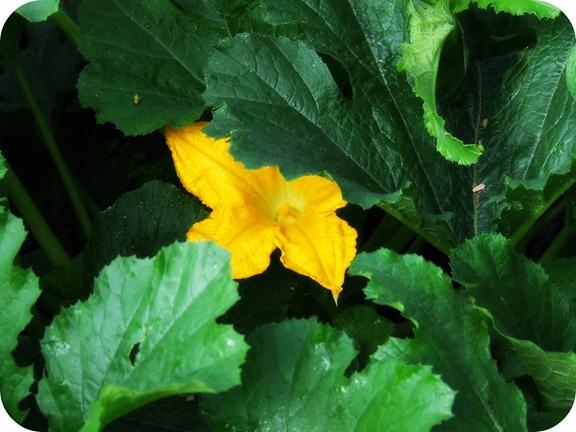 zucflower