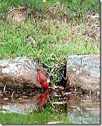 drinking cardinal