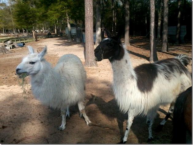 feeding lamas