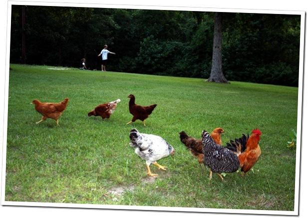 Backyard chickens 2