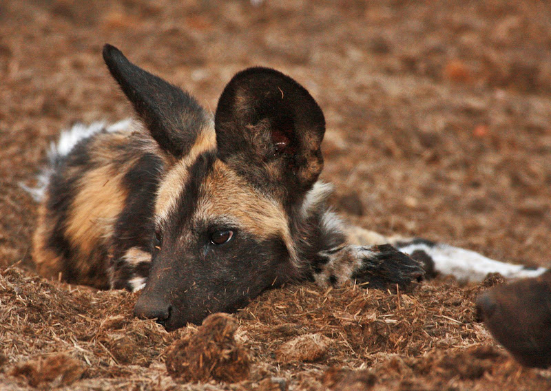 Disease Elder Dog Can Get From Puppy