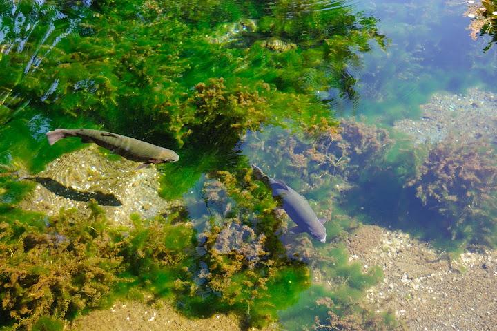 湧池で泳ぐ魚の写真