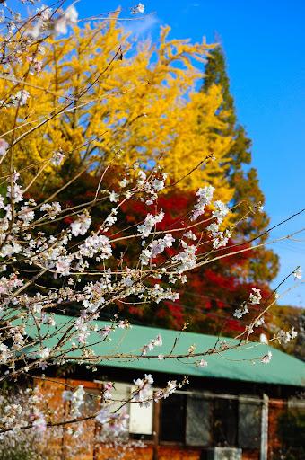 四季桜・イチョウと紅葉の中の写真