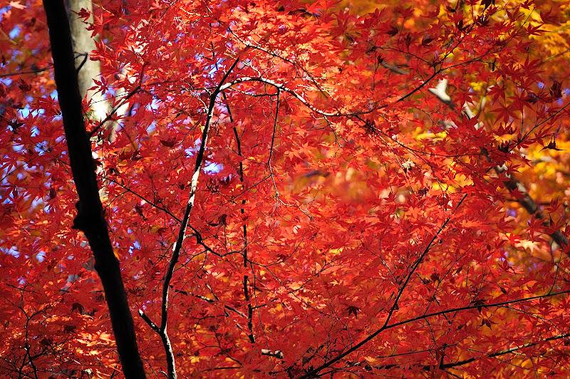 香嵐渓・飯盛山山頂近辺の紅葉の葉の写真