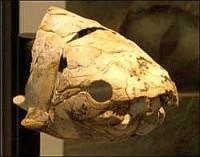 Череп доисторической панцирной рыбы плакодермы