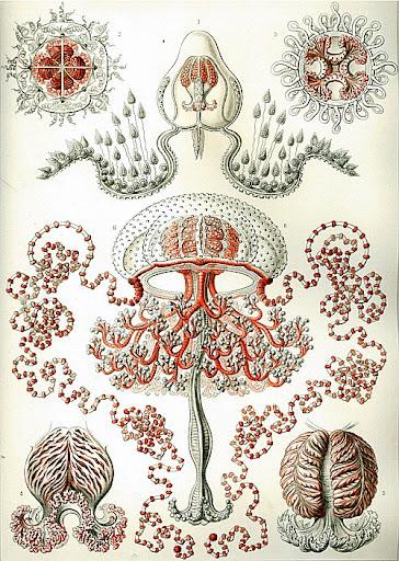 Рисунок Эрнста Геккеля - Anthomedusa (Anthomedusae)
