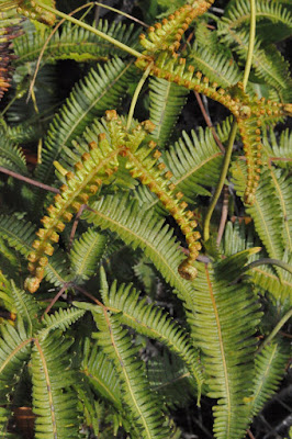 Ferns on top of Kiluea, Hawaii's active volcano. Photo by Lisa Callagher Onizuka