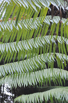 Tree fern patterns. Photo by Raymond Chambers