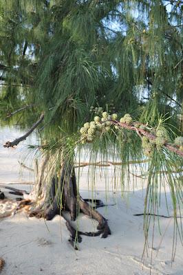 Beach Trees. Big Island Hawaii.