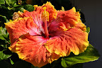 Hibiscus, big as a plate. Photo by Lisa Callagher Onizuka