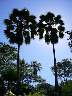 Two magestic fan palms near Hilo, Hawaii.