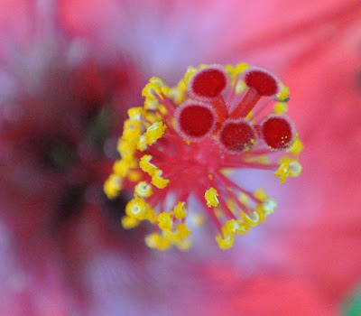 Hibiscus flower macro.