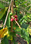 Coffee berries from Lon Armour's farm/B&B near Kona, Hawaii.