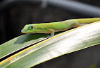 Day Gecko near Kona, Hawaii.