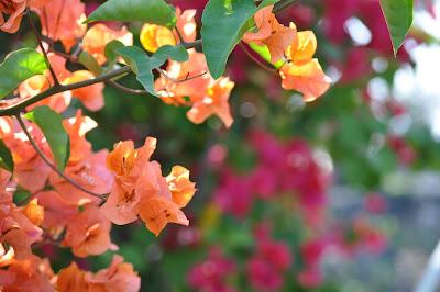 Bougainvillea in orange, pink, magenta - near Kona, Hawaii.