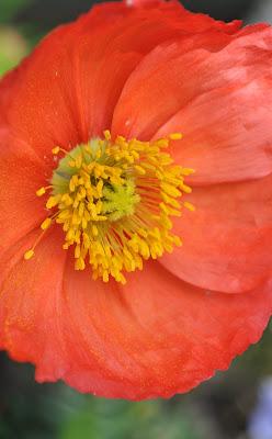 Pretty Poppy, Reinette's Bakersfield Garden