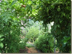 More Tomatoes 015