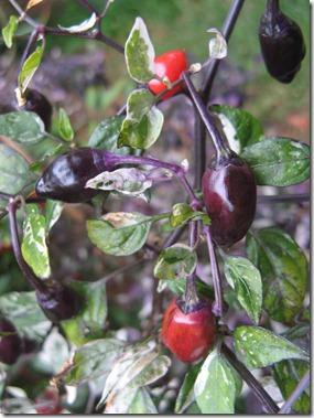 Chillies & Garden-1