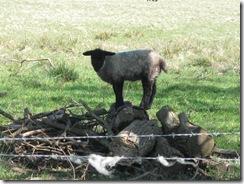 IMG_0050 Lamb