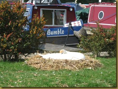 IMG_0052 Swan nest Fenny Marina
