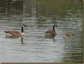 IMG_0003 Canada goslings