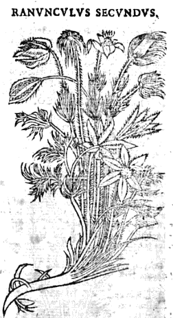 Drawing by <a href='http://en.wikipedia.org/wiki/Andr%C3%A9s_Laguna'>Andrés (de) Laguna de Segovia</a> of a candidate for the Sardinian laughing plant in <a href='http://books.google.com/books?pg=PA250&id=l8I9qBq-PNYC'>a 1651 Valencian edition of Dioscorides</a>.