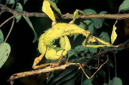 spinyleafinsect