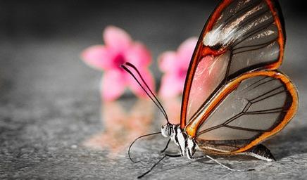 transparentbutterfly