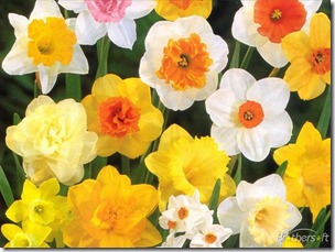 daffodil_theme-202361-1230608709
