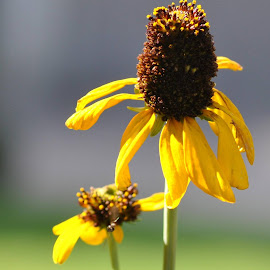 My Wilting Sunflower by Sherri Murphy - Nature Up Close Gardens & Produce