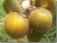 Solanum hirsutissimum a (2)