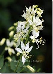 aaa Allium yunnanense