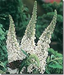 Buddleja albiflora