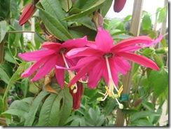 passiflora_exoniensis