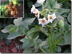Solanum_andigena
