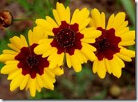 COREOPSIS TINCTORIA