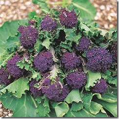 Broccoli Summer Purple Suttons